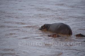 elburroviajero Kenya 3 hippopotamos